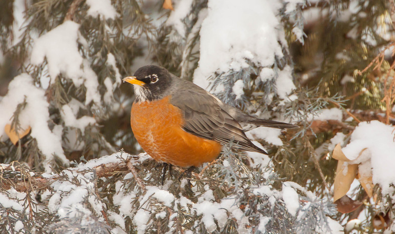 IMAGE: http://ct1co2.smugmug.com/2014-Random-Pics/i-pGCLfFg/0/L/Chilly%20Winter%20Robin2-L.jpg
