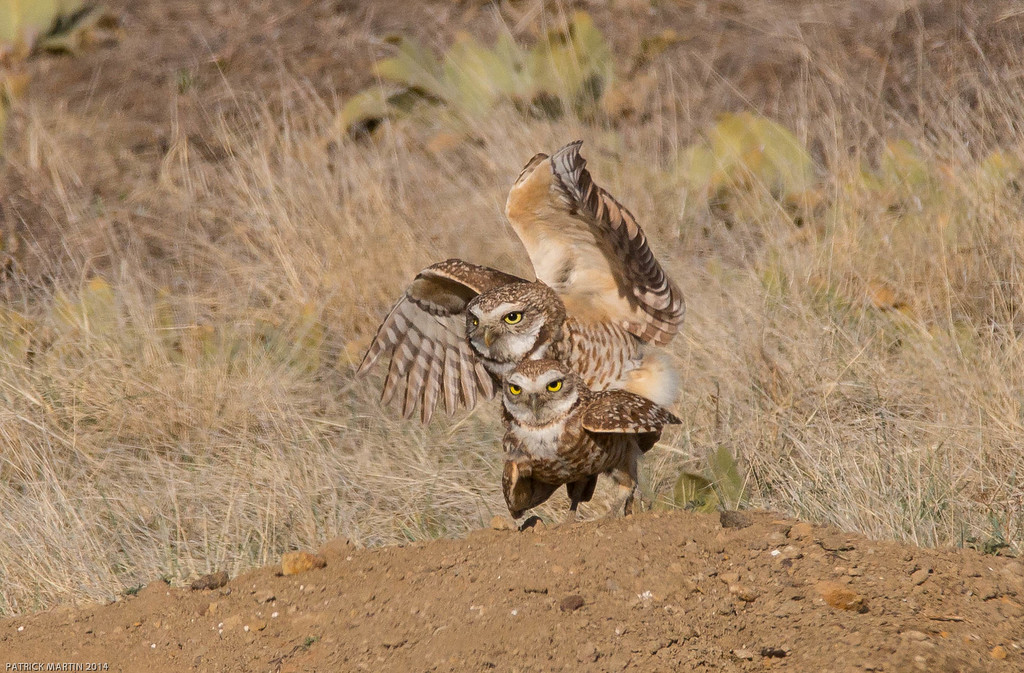 IMAGE: http://ct1co2.smugmug.com/2015-Captures/i-NJjzfKc/1/XL/Frisky%20Burrowing%20Owls2-XL.jpg
